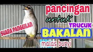 SUARA PANGGILAN BURUNG TRUCUKAN,ampuh untuk memancing burung trucuk bakalan atau trucuk malas bunyi