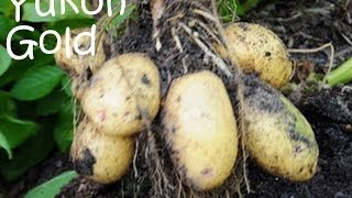 Growing Yukon Gold and Red Pontiac potatoes in my no dig garden