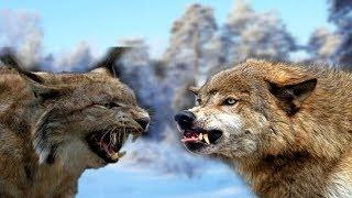 ВЕРСУС. РЫСЬ В ДЕЛЕ. Рысь против Пумы, Оленя, Собаки!