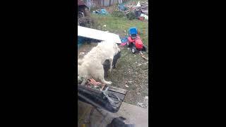 Dog fuck pig