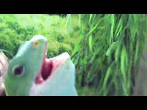 Fiji Iguana Singing AC/DC