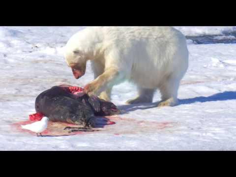 Polar Bear and prey, Polar Bear and Seal, Polar Bear in the Arctic דב קוטב וטרף