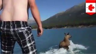 駝鹿衝浪騷擾動物 影片成罪證
