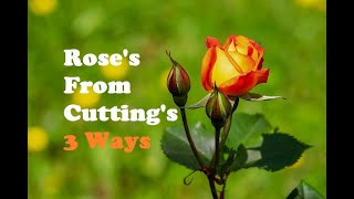 Roses From Cuttings 3 ways thumbnail