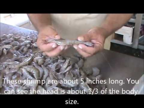How to Freeze Fresh Caught Shrimp