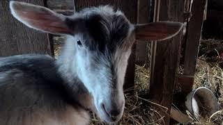 Предродовое залеживание или тяжелое состояние козы перед родами