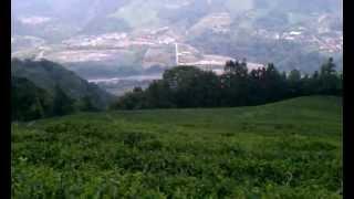 Mr Chen Organic Oolong Tea Farm