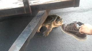 Huge snapping turtle vs shoe!