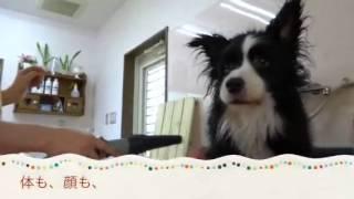 牧羊犬やアジリティで有名なボーダーコリー。 この子はボーダーコリーで...