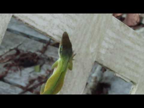 6 3 2016 my green iguana/lizards