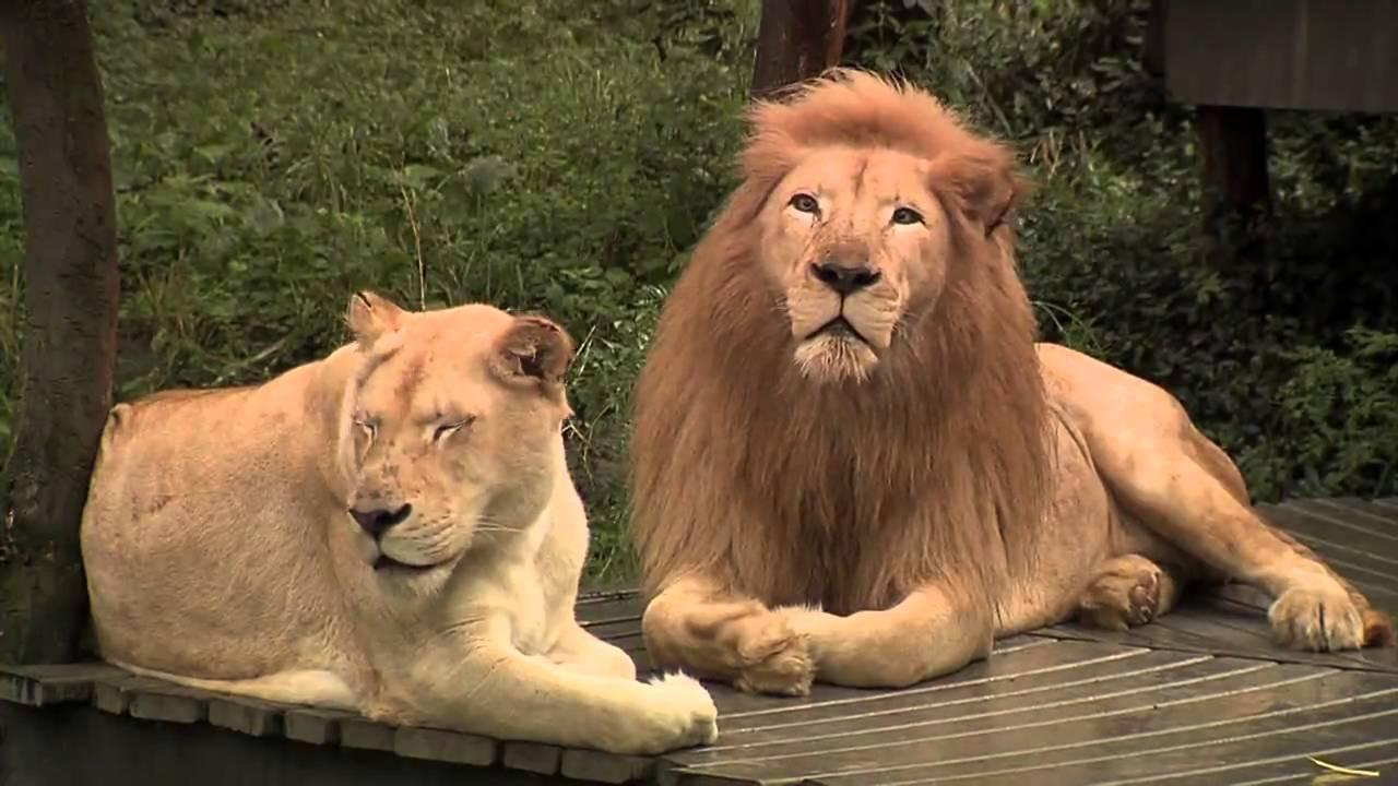 White Tigers And Lions Cincinnati Zoo Youtube