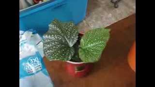 Angel Wing Begonia: Propagation or Death