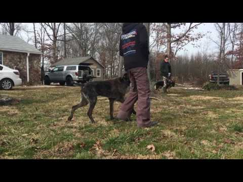 10-Month Old Franco!  Amazing Dog Board and Train Program | Off Leash K9 Training