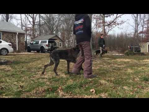10-Month Old Franco!  Amazing Dog Board and Train Program | Off Leash K9 Training