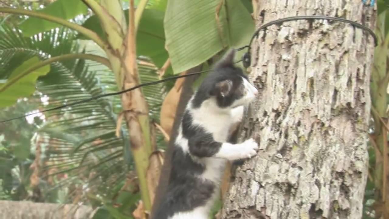 cat climbing trees full hd youtube. Black Bedroom Furniture Sets. Home Design Ideas