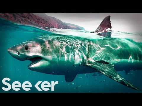 This Is The Only Proven Way To Deter A Great White Shark | The Swim