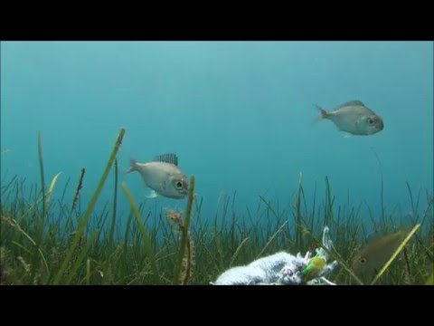 Seagrass meadows support our fisheries