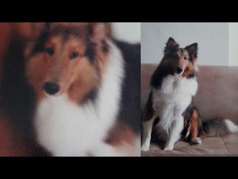 PHOTOS OF HANDSOME DOG/BREED SHETLAND SHEEPDOG/HIS NAME TIGER
