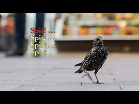 Spreeuwenkaraoke (Starling Bird Karaoke)