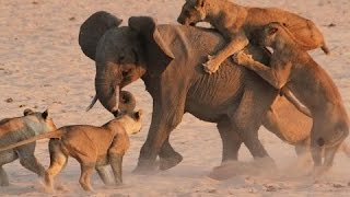 ► the killer attack - wild lions in action - lions documentary | hd