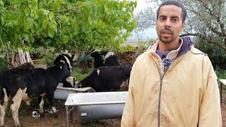 ڤلوك مع راعي البقر بمزرعة لالة حادة🐂علف البقر الحلوب