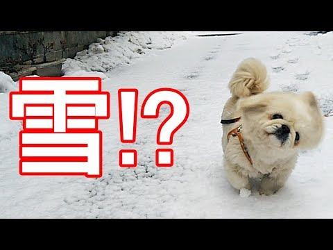 雪ではしゃぐかわいいペキニーズ1