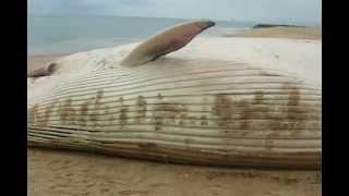 кит выбросился на пляж г Лобиту Ангола