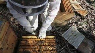 Сбор меда с использованием пчелоудалителя Honey robber США. Часть 1