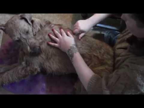 ирландский терьер: тримминг короткая версия видео
