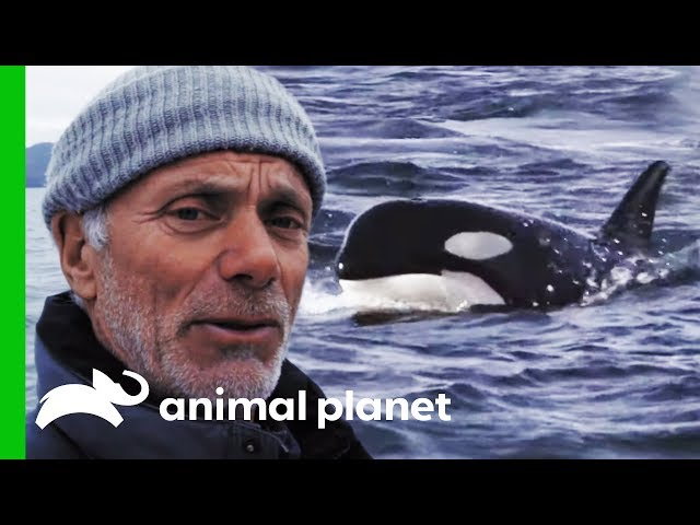 Are Orca Responsible For The Disappearance Of King Salmon? | Jeremy Wade's Dark Waters