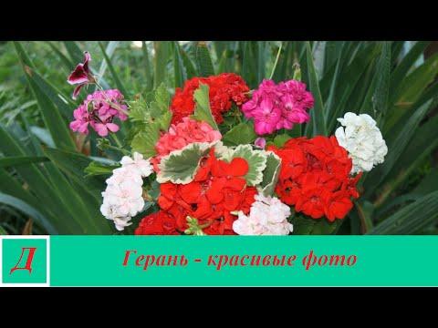 Пеларгония тюльпановидная уход, описание, фото