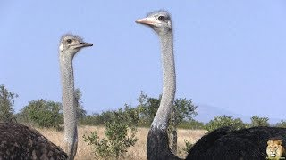 Beautiful Funny Birds   The Ostrich