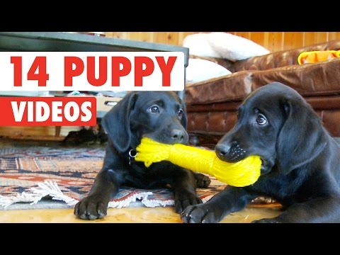 14 Funny Puppy Videos Compilation 2016
