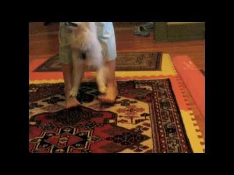 American Eskimo Preforms AMAZING Dog Tricks! (Contest Entry)