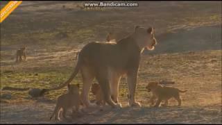 Lwy Lwice  i Lwiątka  Afryka Safari