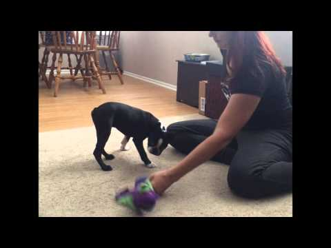 how-to-stop-puppy-dangerous-growling-&-biting-part-2