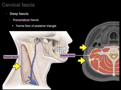 Cervical fascia