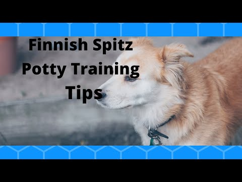 ***Finnish Spitz Puppy Potty Training Tips***