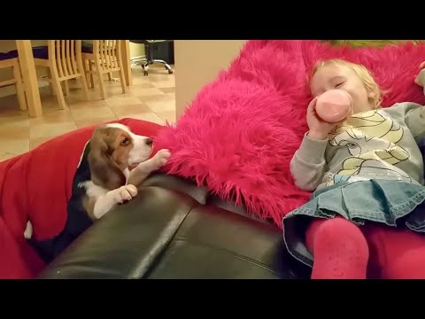 Beagle Puppy Wants To Sleep in Bed and makes Baby Laugh