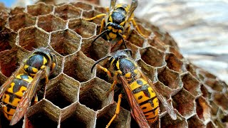 yellow-jackets-nest-in-ceiling-infestation-massive-wasp-nest-removal-asmr