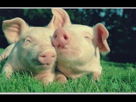 видео: Прикольные свинки и поросята