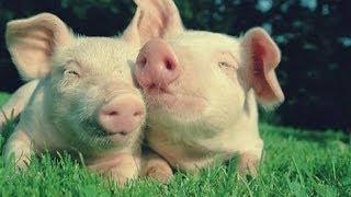 Прикольные свинки и поросята