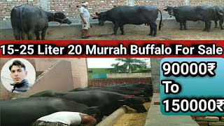 Murrah Buffalo 15-22 Liter For Sale 90000-150000 Thanedar Dairy Farm Baljeet Jind Haryana 8100009996