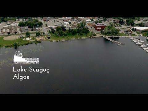 Lake Scugog - Floating Algae
