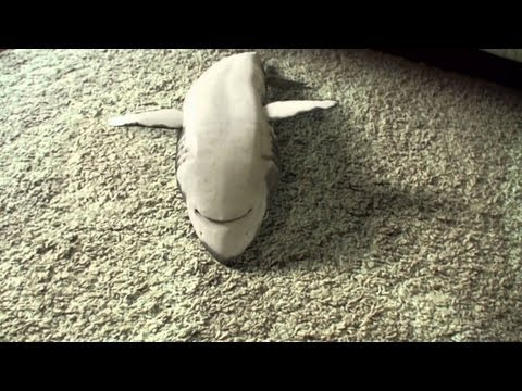 Shark playing dead Supercute