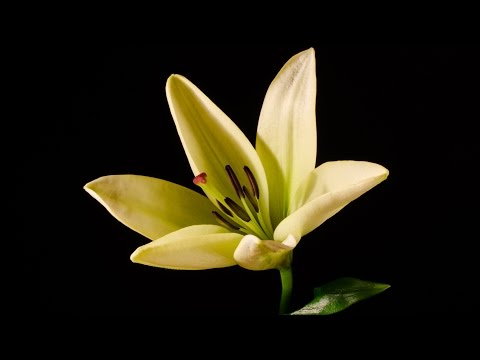 Lily - blooming flower time-lapse video HD