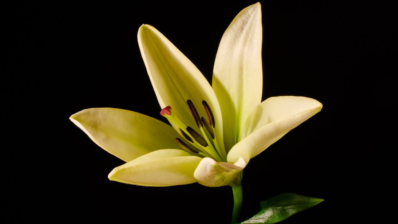Lily blooming flower time lapse video hd youtube izmirmasajfo Choice Image