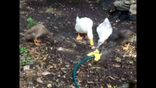 Our Pet Ducks Playing In The Sprinkler!
