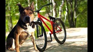 Упряжка с собакой на велосипеде. Riding with a dog on a bike