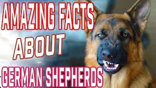 German Sheperd Facts   Most Amazing Facts About German Shepherds Dogs & Puppies